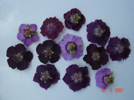 3 x7cm garden plants HARDY GERANIUM PHAEUM all proceeds to Hedgehog Helpline charity
