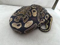Various Royal Pythons and setups