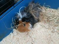 Gorgeous long haired guinea pig and indoor cage