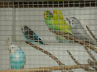 adult budgies plus cages for sale