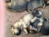 Beautiful Border Terrier Pups