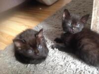 Kittens for sale 8 weeks