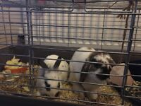 Two indoor rabbits with cage