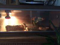 Beared dragon full set up