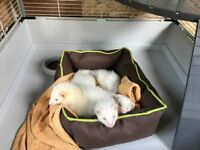 3 Beautifull Ferrets + Big Cage