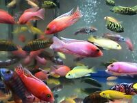 Mix Malawi Cichlids Tropical fish