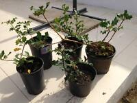 Holly plants