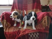 For sale Beagle puppies