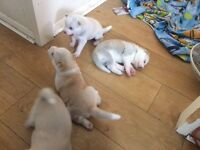 Japanese Akita x husky puppies