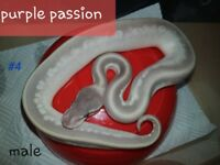 Pythons for sale male/female hatched end june