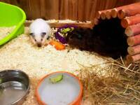 4 male guinea pigs with cage