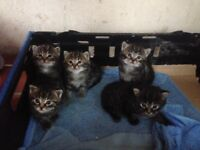 5 kittens for sale *Price Dropped*