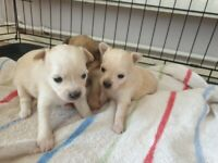 Pomchi puppies 1 boy left