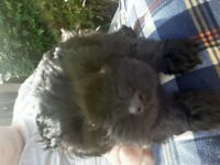 Shihpoo puppy last girl available ready now shih tzu x toy poodle