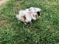 Baby guinea pigs, teddy, smooth and long haired