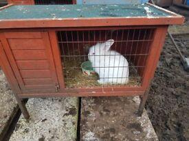 Boy Bunny for sale