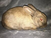 Mini lop for adoption