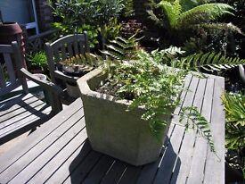Fern Plants In large Concrete Pot Weymouth