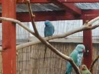 blue ringneck parrots