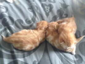 2 Female Kittens