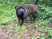Shar-pei lovely Girl 7 months old for sale