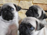 Pug Puppies For Sale Girls And Boys KC Registered Ready Now