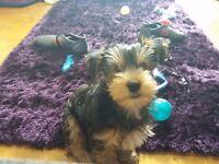 18 week old yorkie pup