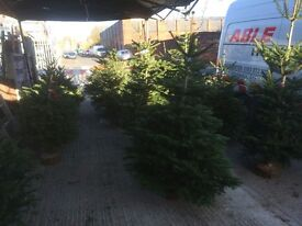 CHRISTMAS TREES TOP QUALITY NORDMANN FIR FROM £15 !!! DELIVERY AVAILABLE !!!