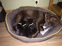 Beautiful black Labrador puppies for sale
