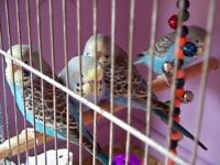 Cute Baby Budgies