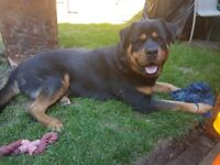 2 year old male rotty
