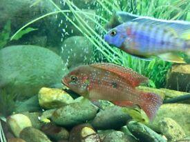 4 Red Jewel Cichlid bundle