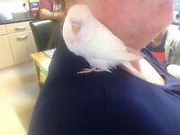 White female baby budgie £8