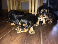 2 boys. King Charles for sale. All Black and Tan.