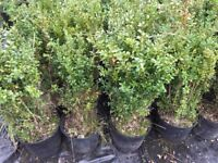 Buxus hedging plants 5L pots, need gone ASAP 65 in total.