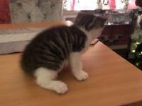 Tabby kittens ready now