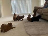 7x beautiful cockerpoo puppies, ready now!