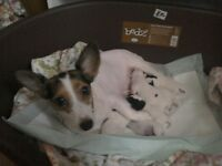 6 Jack Russells for sale