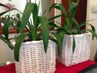 Yucca Indoor Plants for sale £7 each or 2 for £12 only.