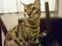 missing/stolen bengal cat