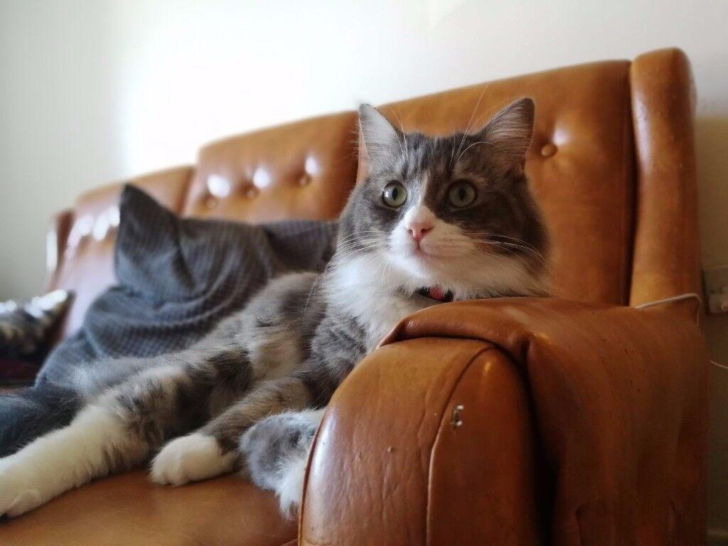 Russian blue and british long hair Mixed Domestic cat