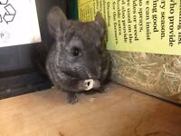 Female Chinchilla,Black Heterozygous. Nearly Black very very dark Grey . Ready Mid Sept .Reserve now