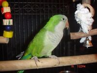 For sale Green Quaker parrot with cage £200 ono!