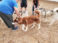 Siberian Husky - male, pure bred, chipped and inoculated. Stunning dog