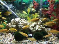 Electric Yellow cichlids / yellow lab