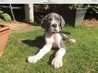 KC Registered Blue and Black Great Dane Puppies