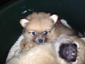 6 Adorable Registered Pedigree Pomeranian Puppies Dor Sale