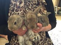 lol ear x continental bunnies