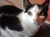 Short hair black and white cat looking to be rehomed for free