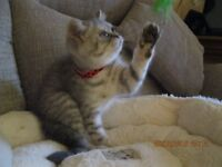Blue/Silver Spotted British Shorthair Kittens